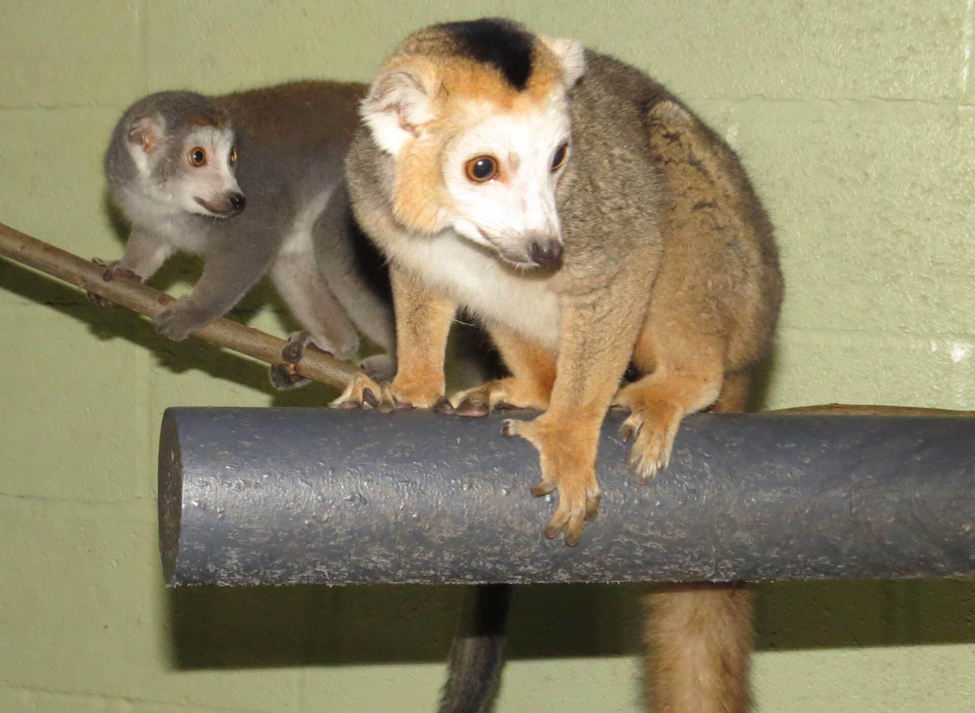 Crowned lemur - Eulemur coronatus at Marwell Zoo