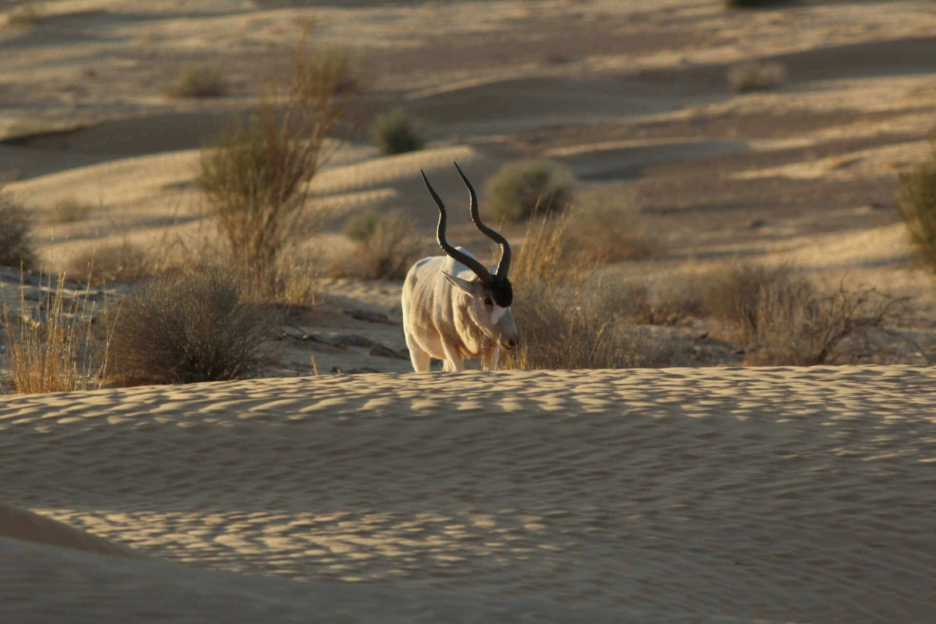 Addax Addax Nasomaculatus Marwell Zoo 1