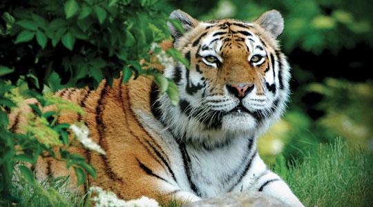 Amur Tiger Panthera Tigris Altaica Marwell Zoo 2