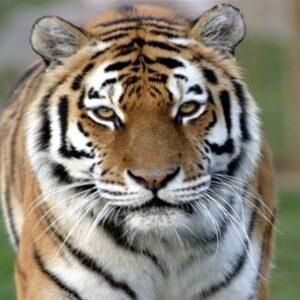 Amur Tiger Panthera Tigris Altaica Marwell Zoo