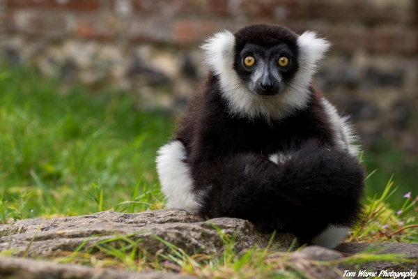 Black And White Ruffed Lemur Varecia Variegata Marwell Zoo 1