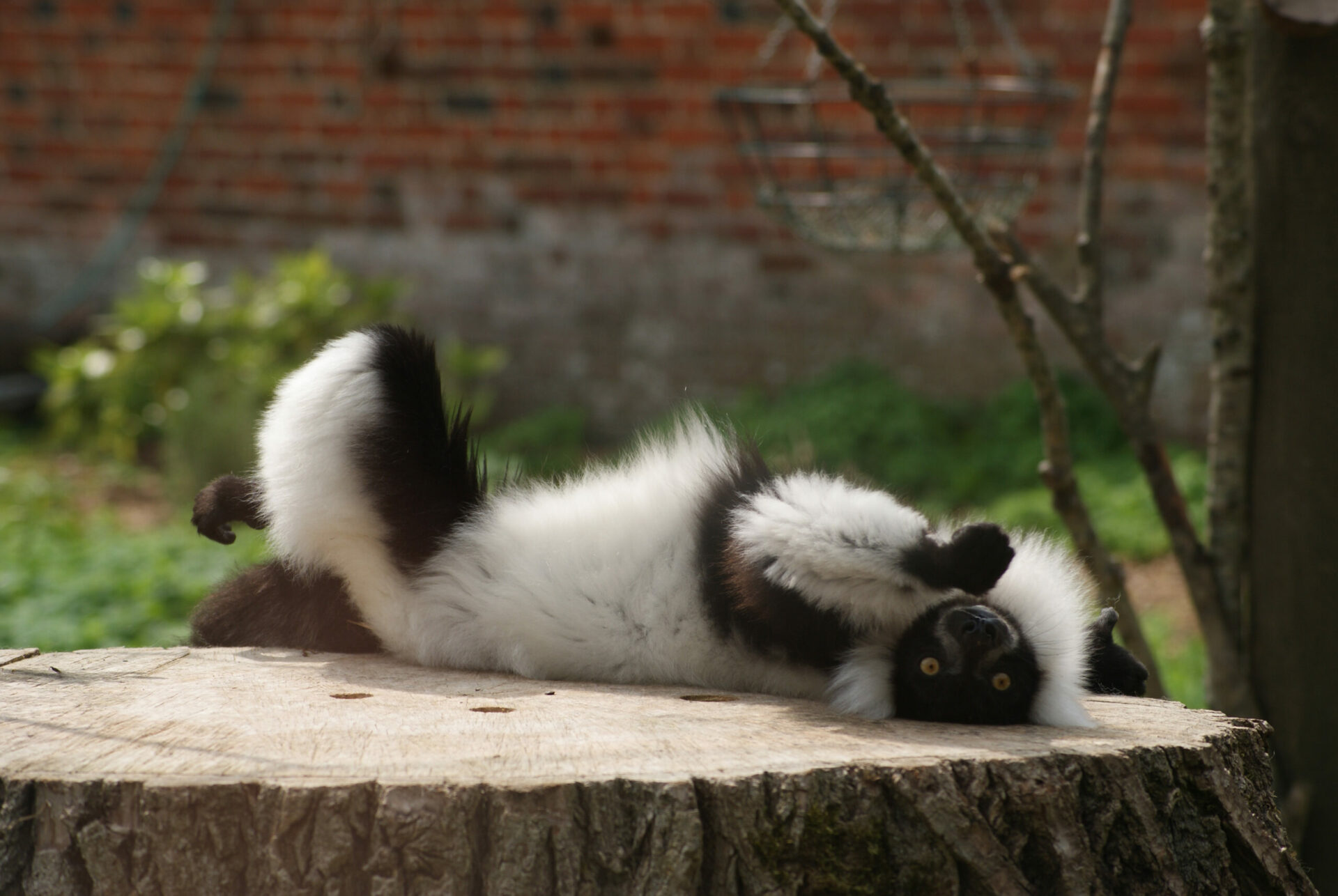 Black And White Ruffed Lemur Varecia Variegata Marwell Zoo 2