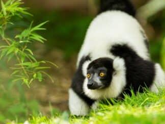 Black And White Ruffed Lemur Varecia Variegata Marwell Zoo 3