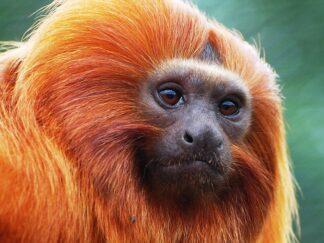 Golden Lion Tamarin Leontopithecus Rosalia Marwell Zoo Paul Rollison 2
