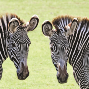 Grevys Zebra Equus Grevyi Marwell Zoo