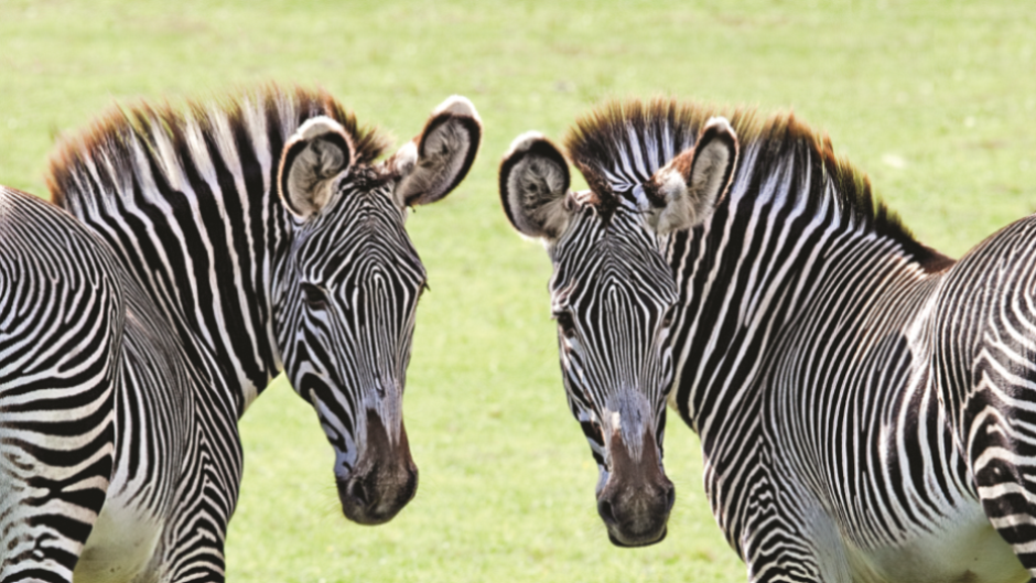 Grevys Zebra Equus Grevyi Marwell Zoo 1