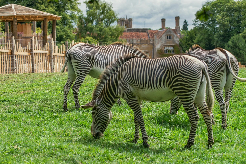 Grevys Zebra Equus Grevyi Marwell Zoo Jjcookphotography