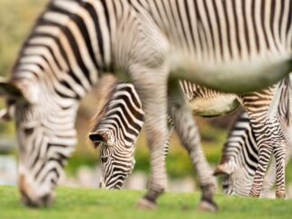 Zoo_photographer_ _credit_jason_brown_ _grevys_zebra_row_1
