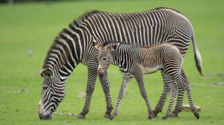 Credit_marwell_zoo_ _grevys_zebra_foal_1