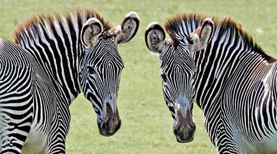 Grevys Zebra Equus Grevyi Marwell Zoo Side By Side