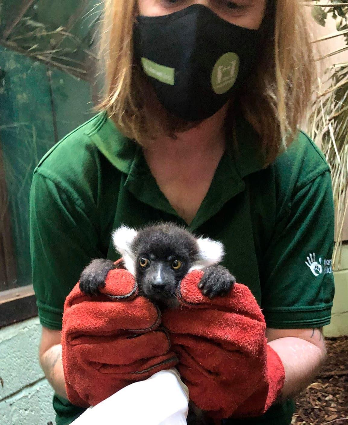 Jason Brown Lemur Baby 2