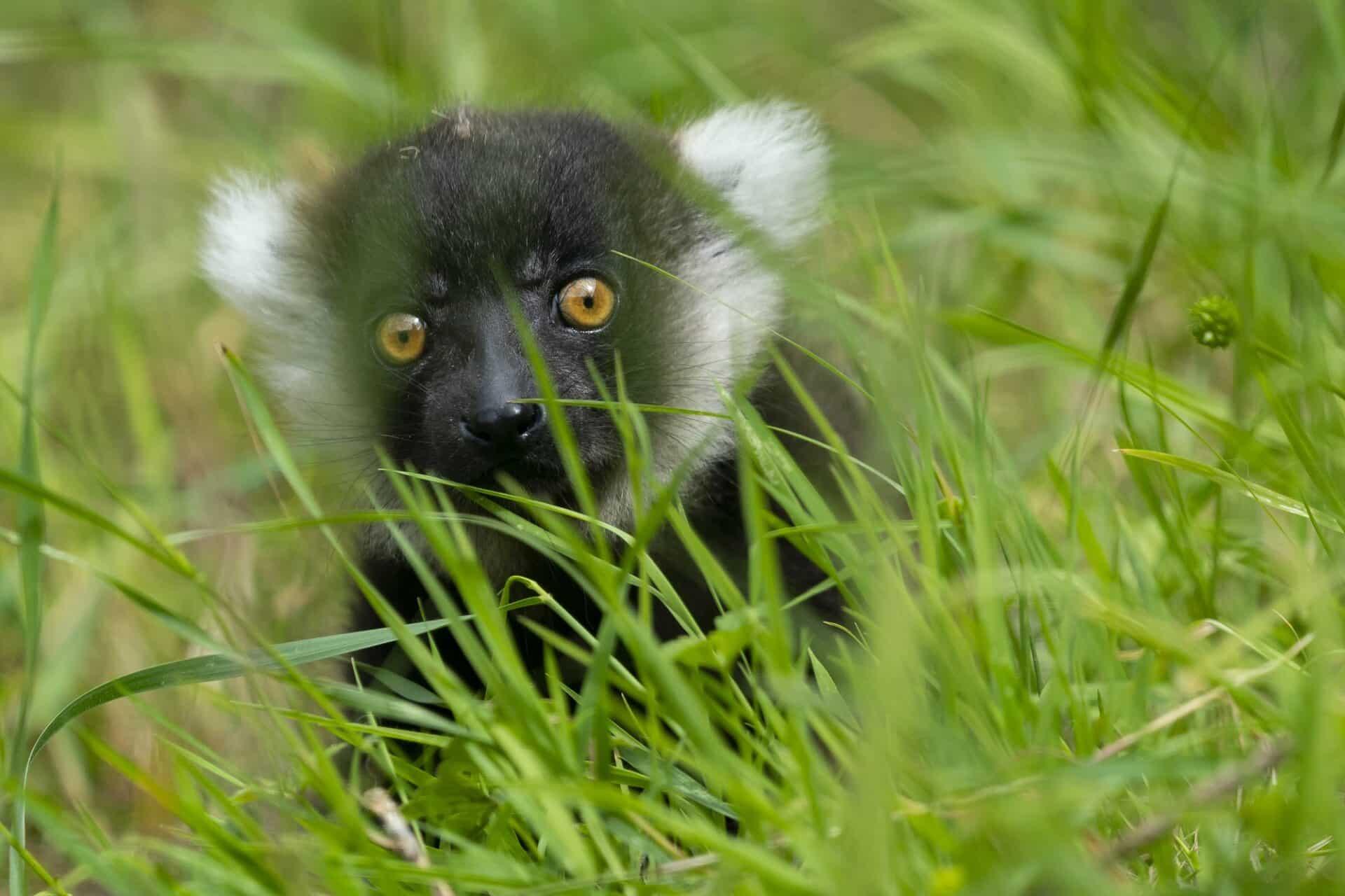 Jason Brown Lemur Baby