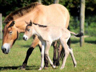 Przewalskis Horse Equus Ferus Marwell Zoo Foal