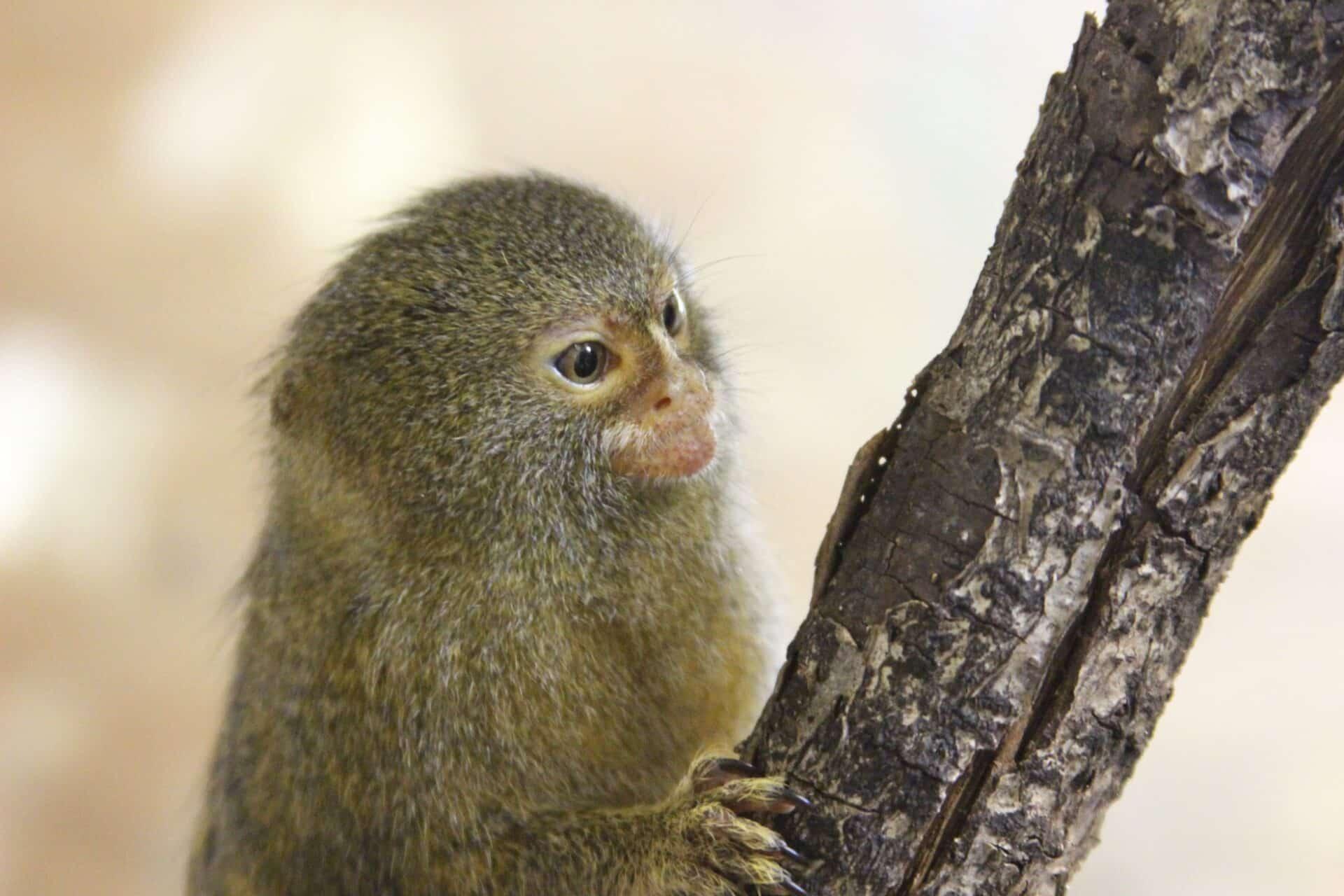 Pygmy Marmoset Cebuella Pygmaea Marwell Zoo 1