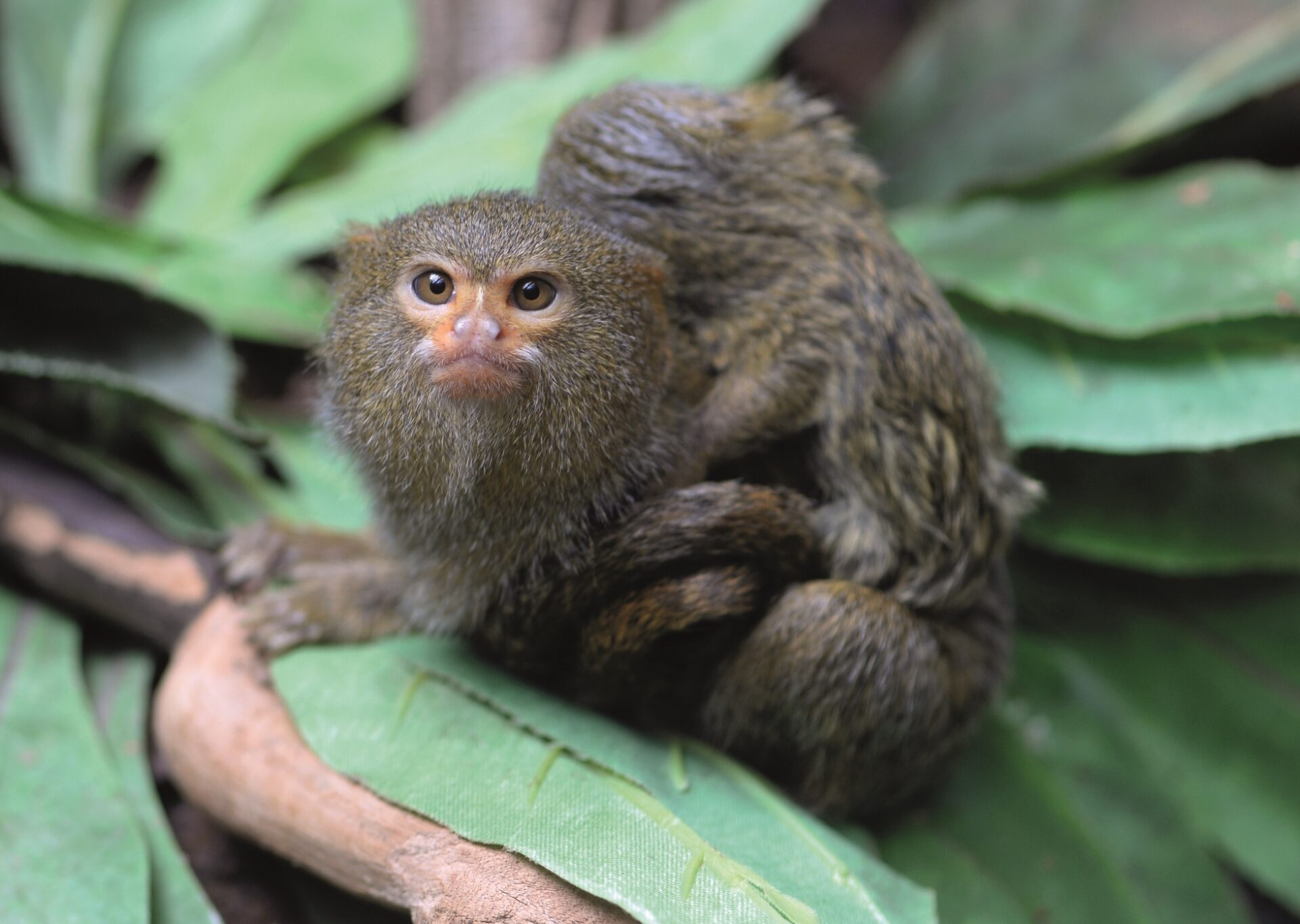 Pygmy Marmoset Cebuella Pygmaea Marwell Zoo 2