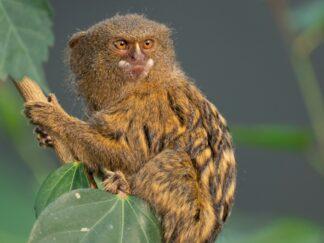 Pygmy Marmoset Cebuella Pygmaea Marwell Zoo 4
