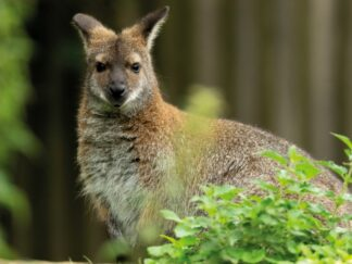 Zoo_photographer__ _credit_jason_brown_ _red Necked_wallaby_9