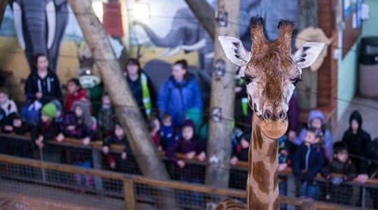 Rothschilds Giraffe Giraffa Camelopardalis Rothschildi Marwell Zoo Education Class