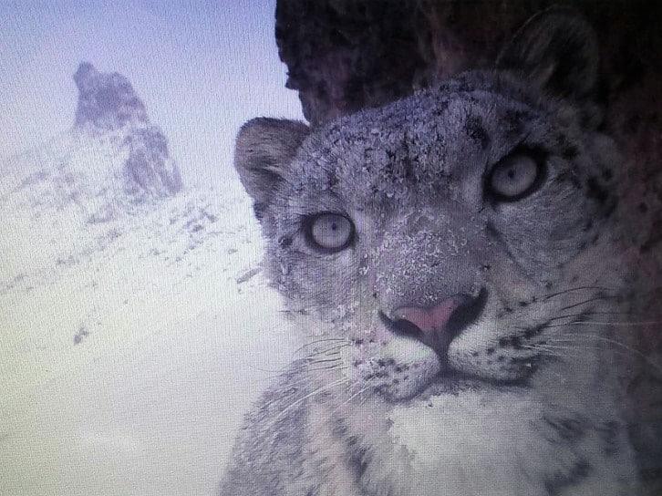 Snow Leopard Panthera Uncia Marwell Zoo 1