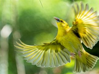 Yellow Village Weaver Ploceus Cucullatus Marwell Zoo