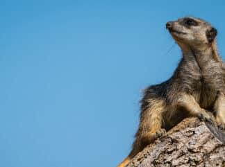 Zoo Photographer Credit Jason Brown Meerkat 5