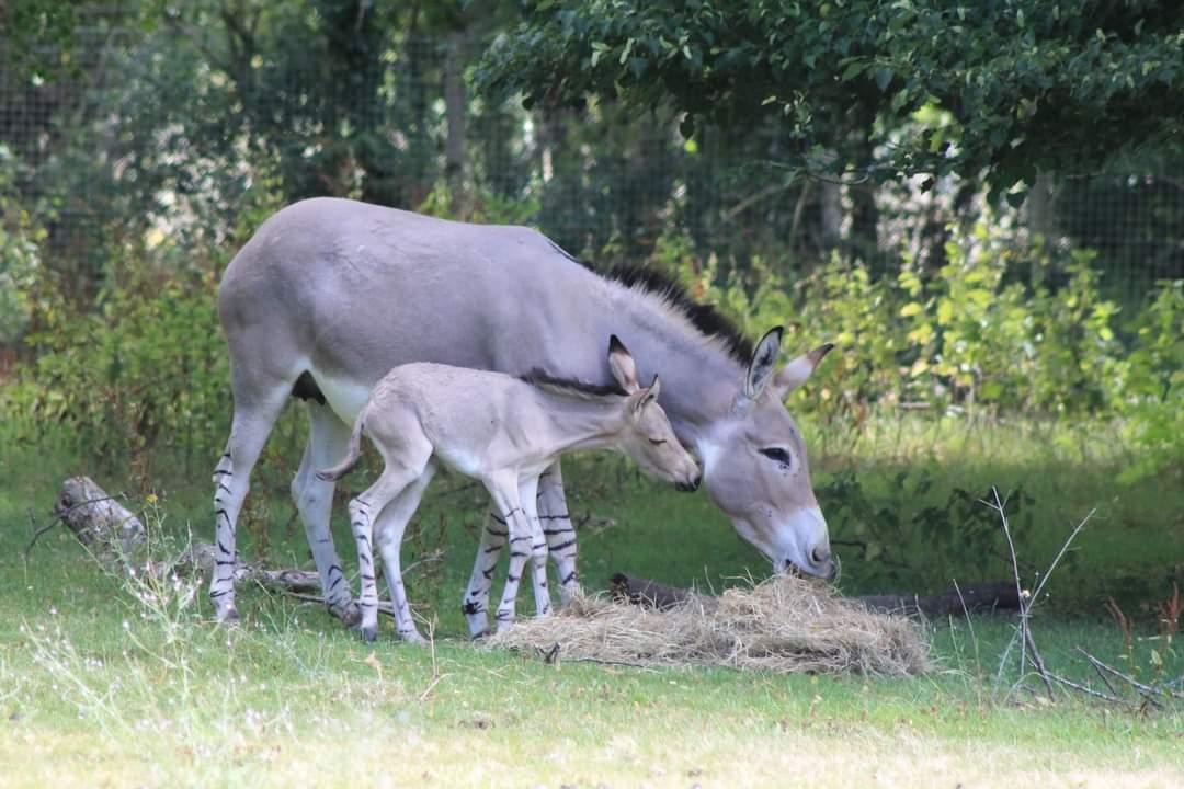 African Wild Ass Foal 1