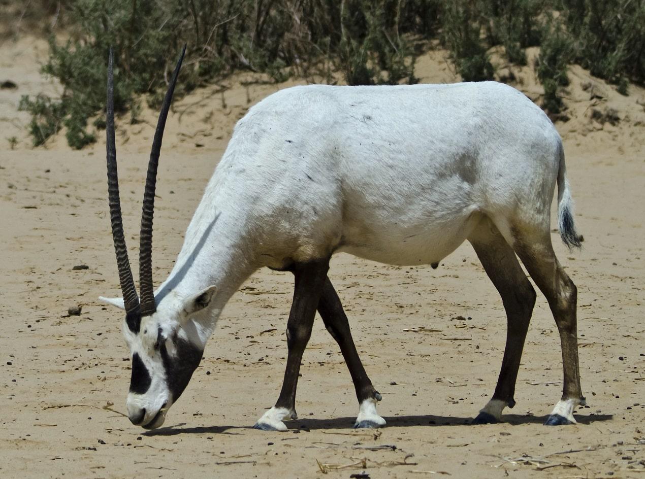 arabian-oryx-1