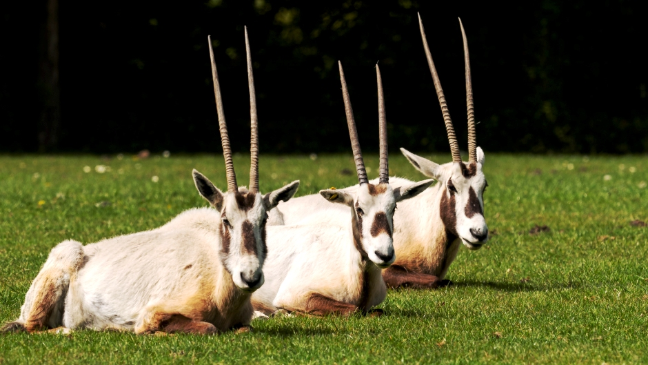 Arabian oryx - Oryx leucoryx at Marwell Zoo