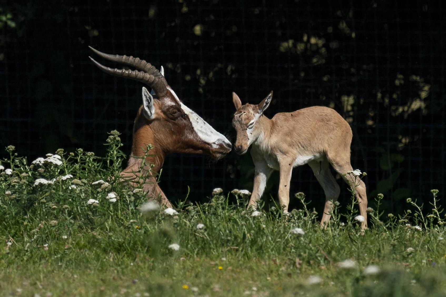blesbok-calf