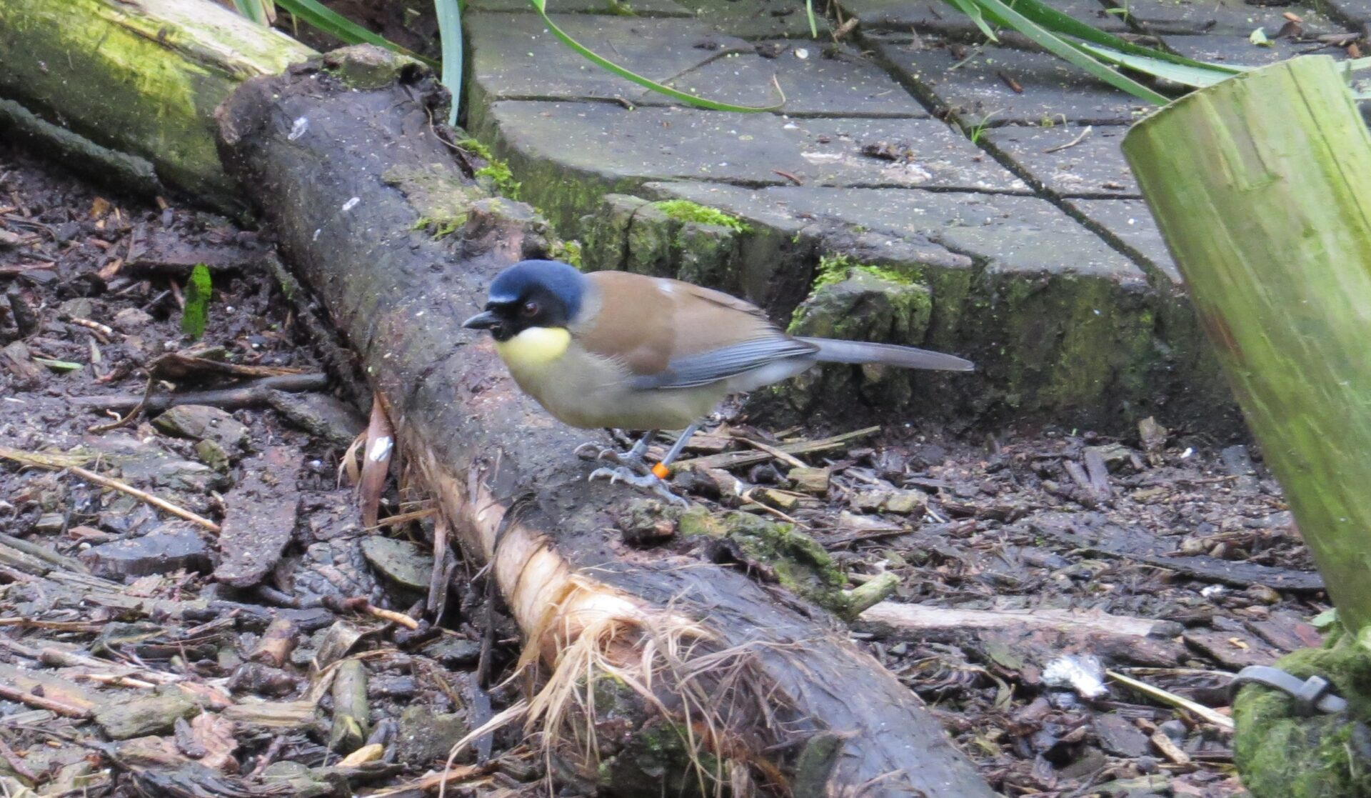 Blue_crowned_laughing_thrush