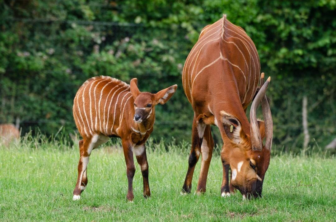 Bongo Calf Credit Gemma Davies