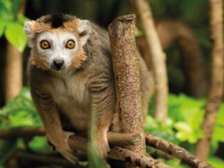 Credit Jason Brown Crowned Lemur Doowi 1