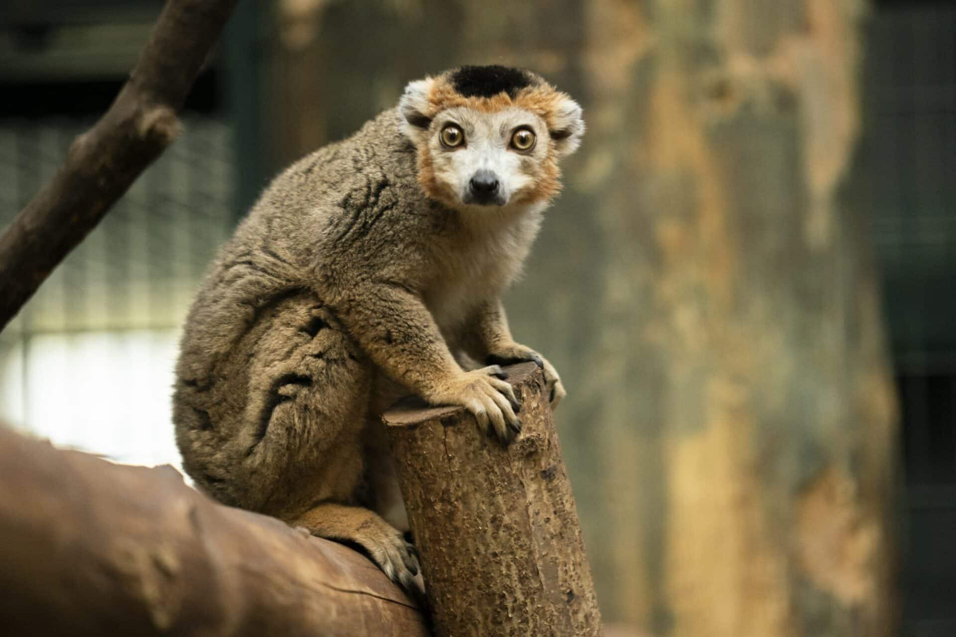 Credit Jason Brown Crowned Lemur Doowi 2
