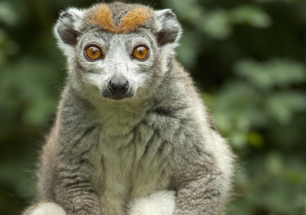 Crowned Lemur 1shutterstock