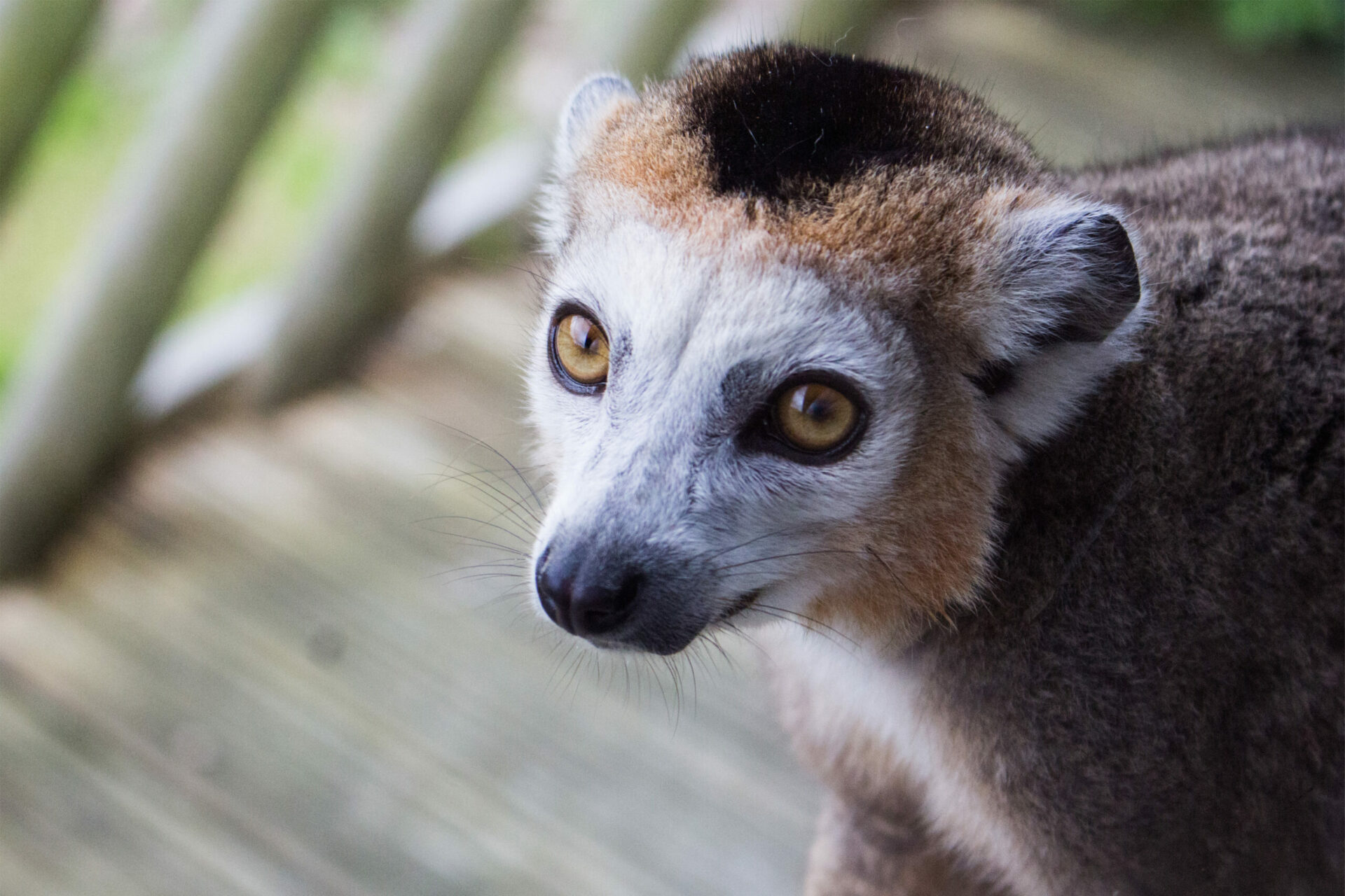 Crowned Lemur Marwell 2 Scaled