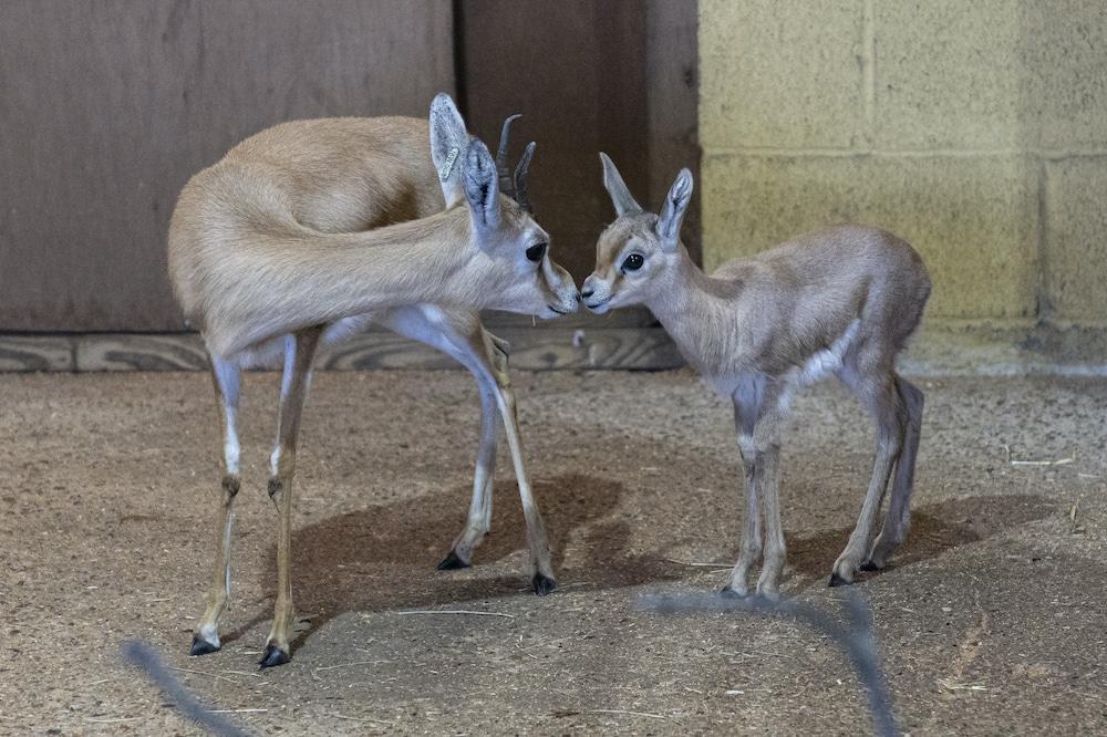 Dorcas Gazelle Fawn At Marwell Zoo 3
