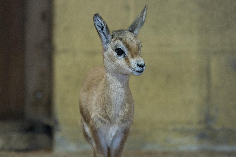 Dorcas Gazelle Fawn At Marwell Zoo 4