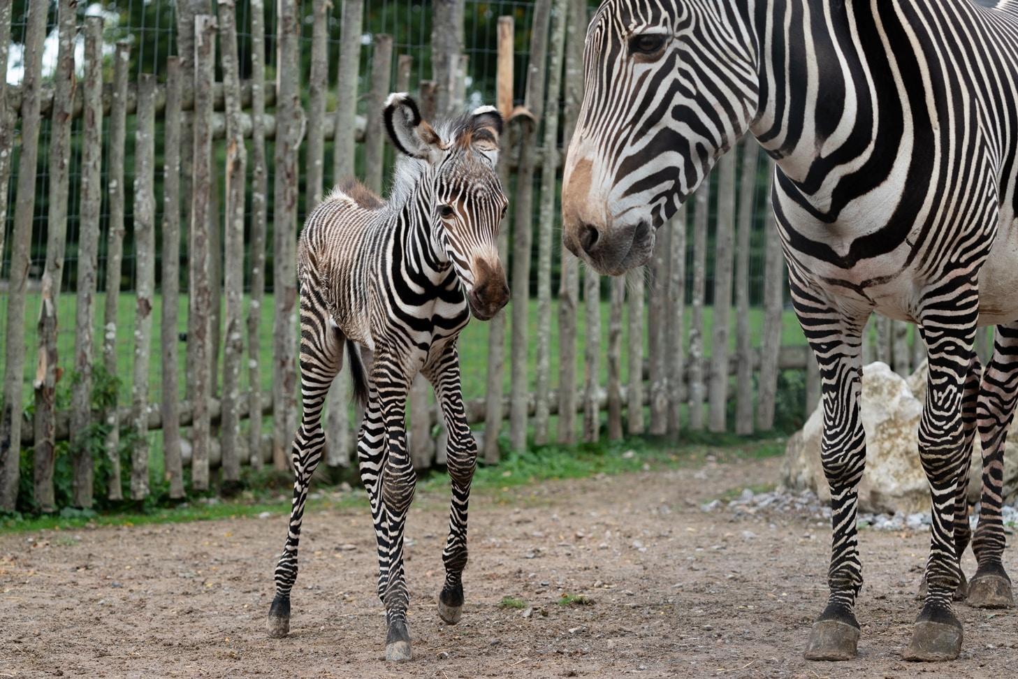 Grevy's zebra - Equus grevyi at Marwell Zoo