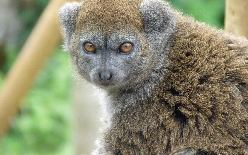Gentle Lemur Directory 1