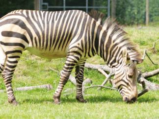 Hartmann's mountain zebra - Equus zebra hartmannae at Marwell Zoo