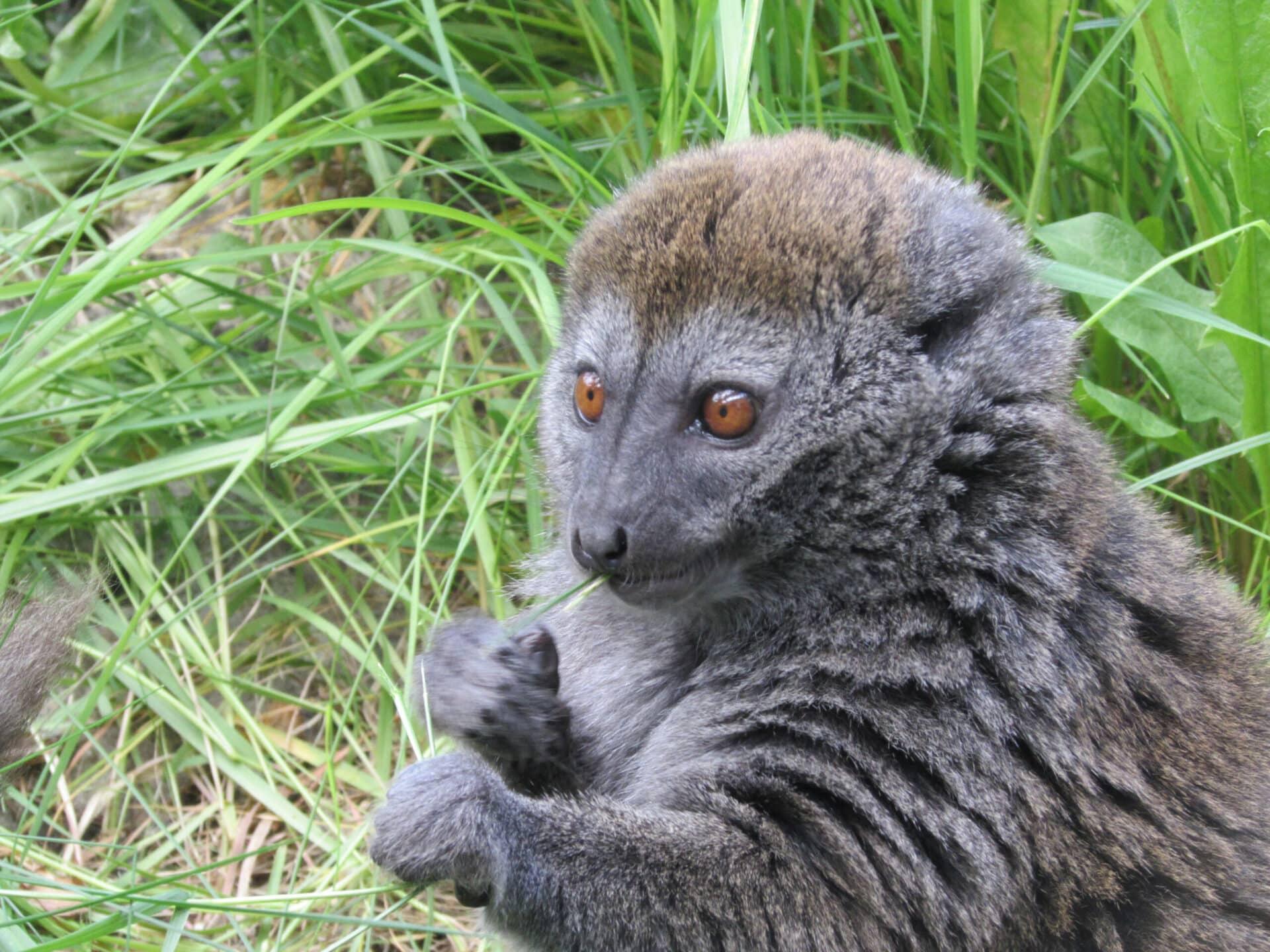 Alaotran reed lemur - Hapalemur alaotrensis at Marwell Zoo