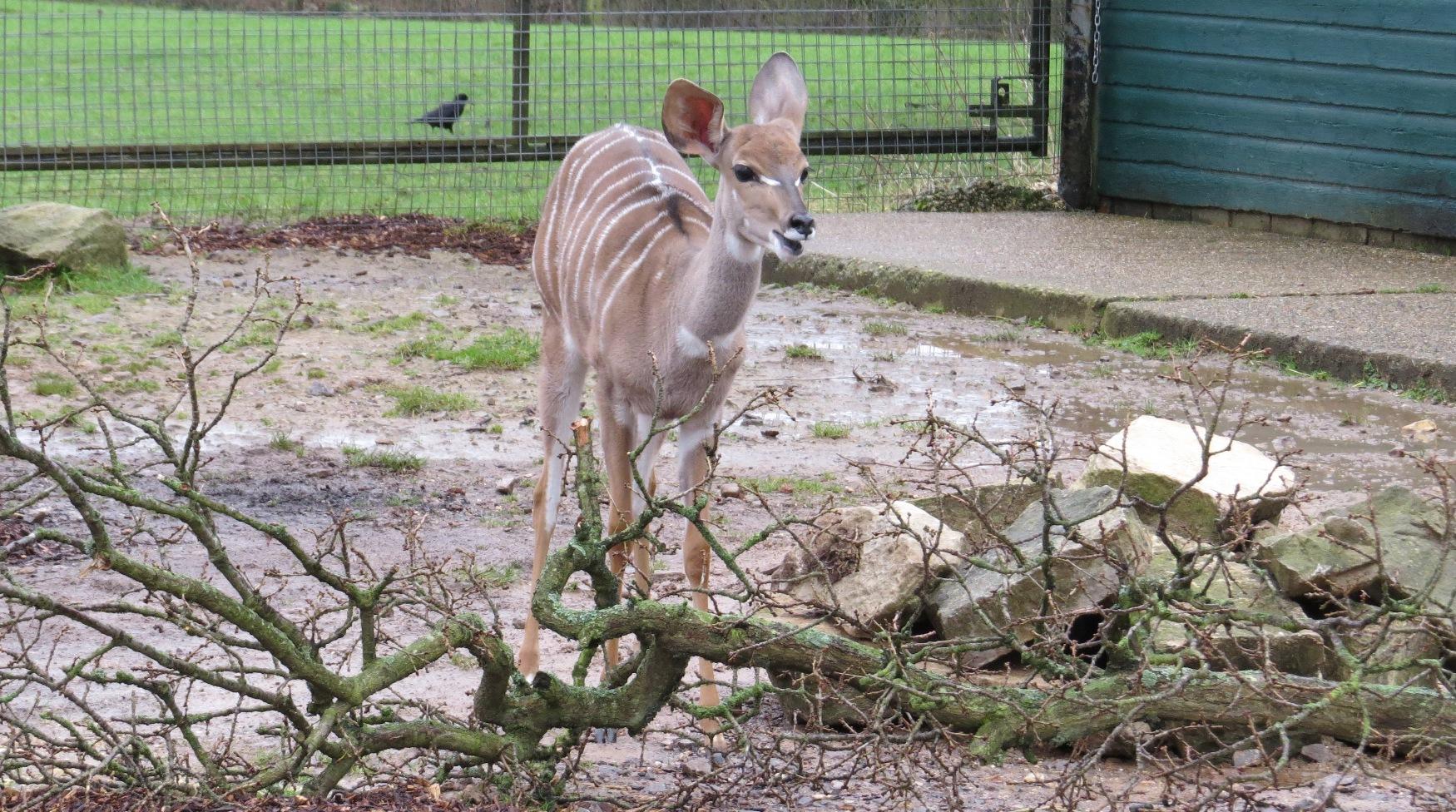 kudu-small