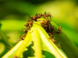 Leaf-cutter ants - Atta cephalotes at Marwell Zoo