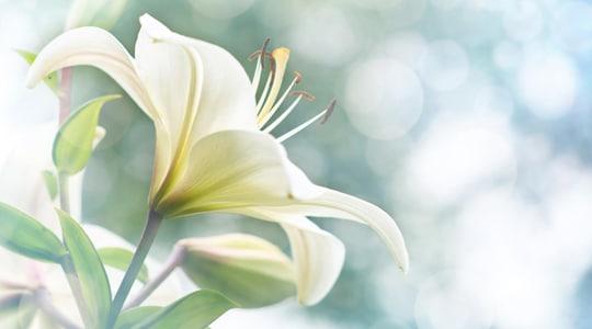 lilly-flower