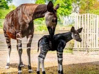 Okapi - Okapia johnstoni at Marwell Zoo