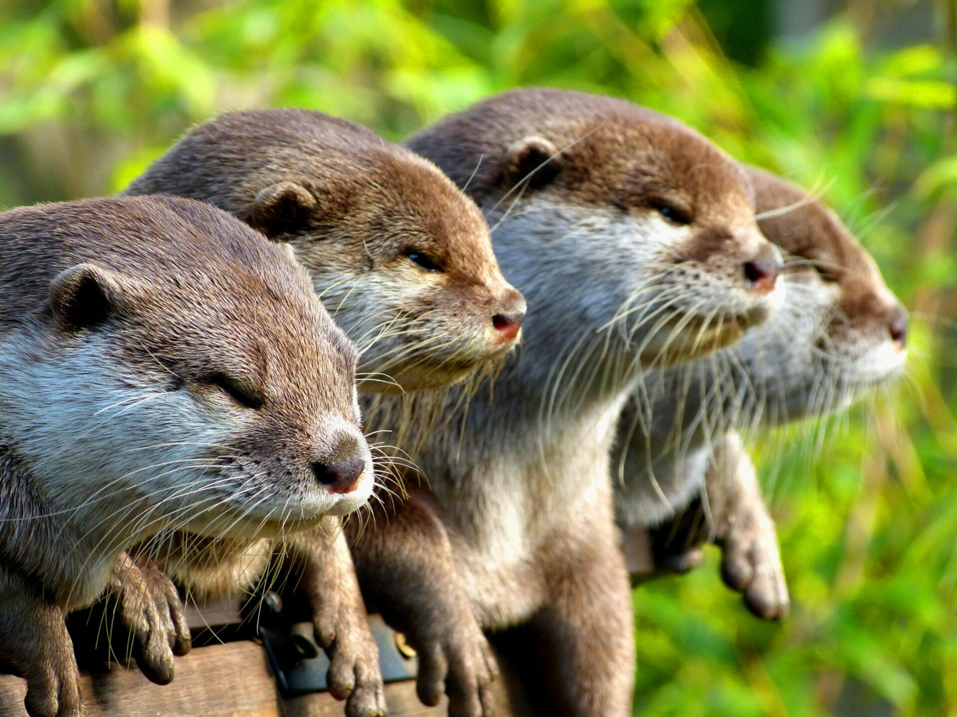 Asian small-clawed otter - Aonyx cinerea at Marwell Zoo