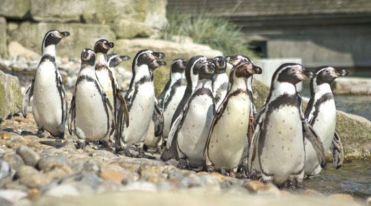 penguins-on-stones