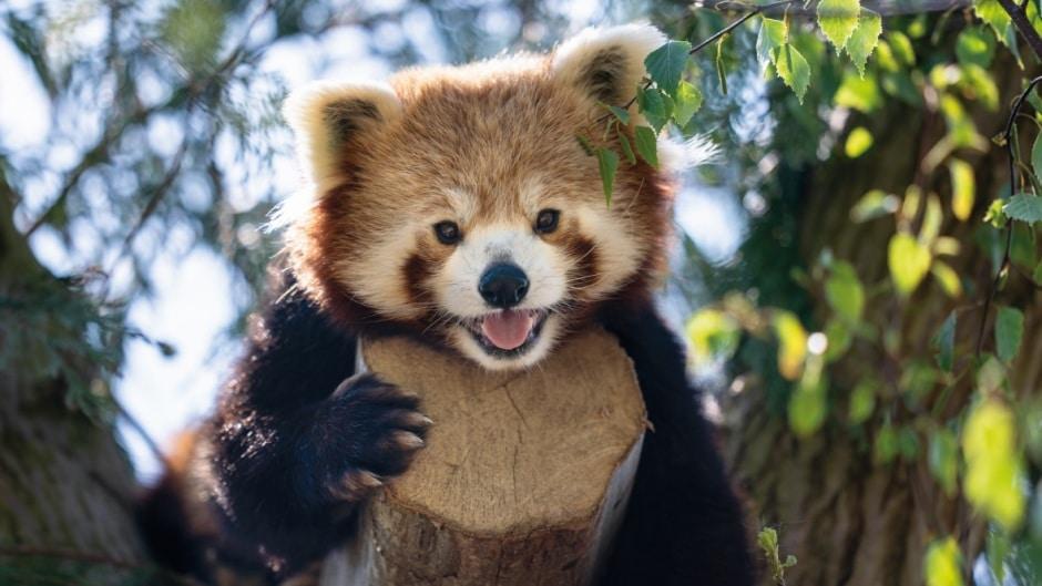 Red Panda Ailurus Fulgens Marwell Zoo Jason Brown