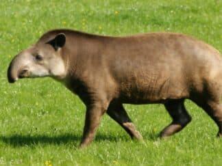 Adopt a Tapir - Tapirus terrestris at Marwell Zoo