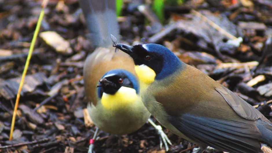 Blue-crowned laughingthrush - Garrulax courtoisi at Marwell Zoo